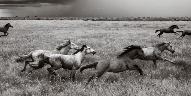 caballos galopando en manada