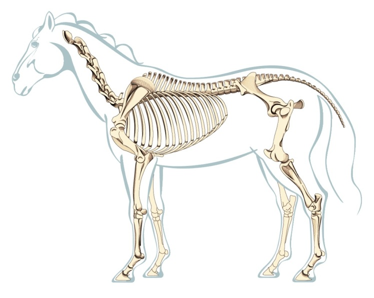Sistema esqueñetico columna vertebral caballo 2
