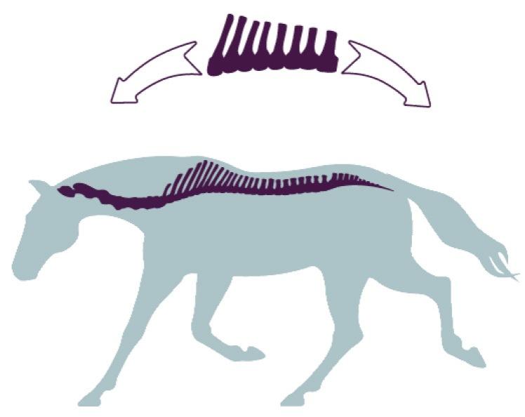 ligamentos caballo 01.jpg