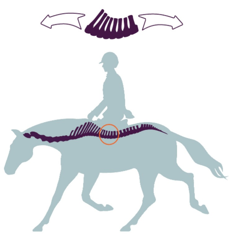 ligamentos caballo 02.jpg