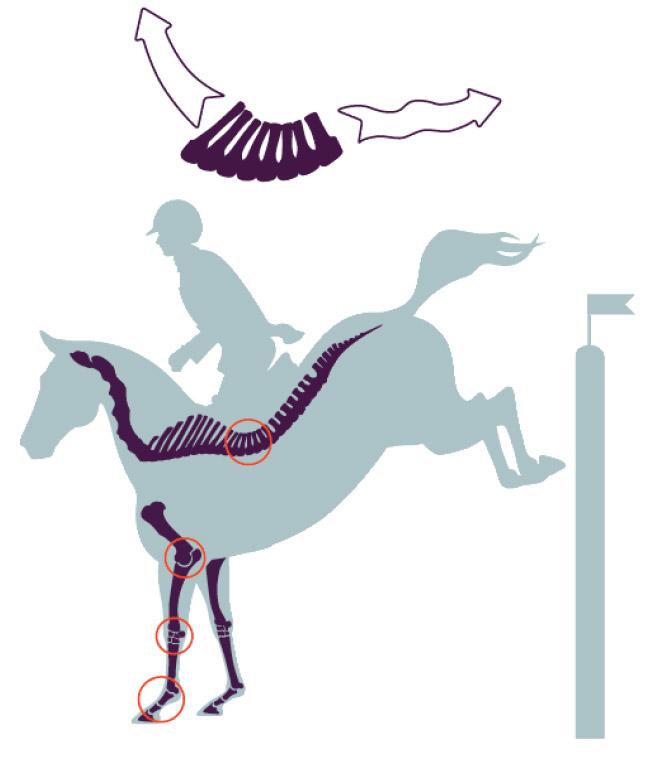 ligamentos caballo 03.jpg