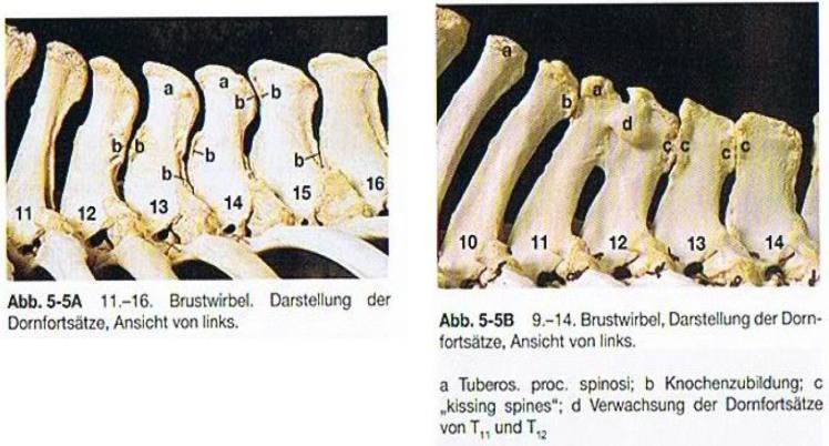 ligamentos caballo 04.jpg