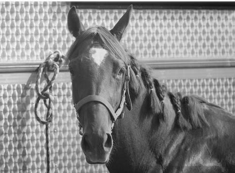 caballo atado